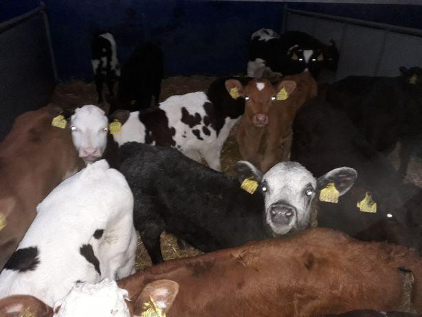 Cielęta do hodowli, Mięsne, HO,NCB, Byczki, Jałówki, dowóz na miejsce