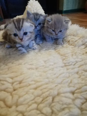 Прямоухие и вислоухие котята ищут семью