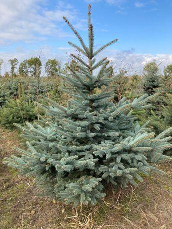 Choinki bożonarodzeniowe- świerk pospolity, srebrny, jodła kaukaska