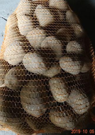 Ziemniaki LORD duże smaczne worek 15kg - 10 zł od rolnika