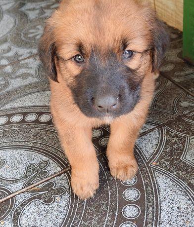 Adoção cães com 3 meses
