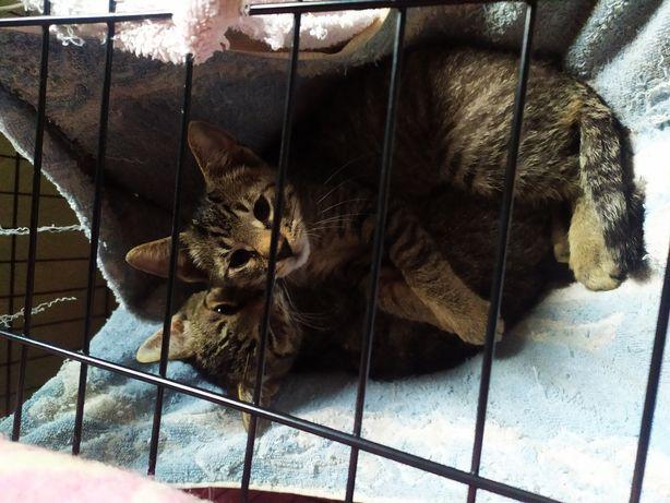 kocięta do adopcji oddam kota PILNIE