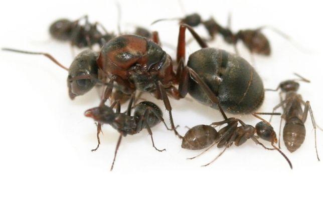 Муравьи Serviformica rufibarbis-Краснощёкий муравей (Матка,10робочих)