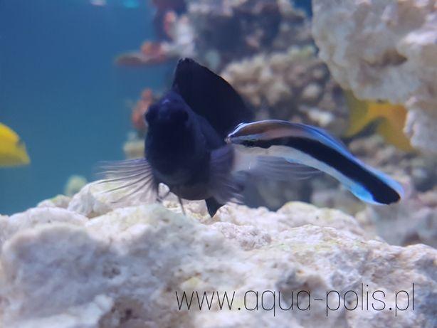 Labroides dimidiatus - Doktorek - akwarium morskie
