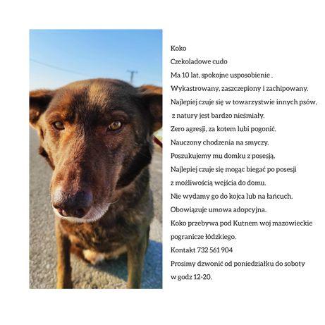 Piękny wykastrowany pies PILNIE adopcja nieśmiały delikatny duży umowa