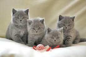 Британские котята срочно!