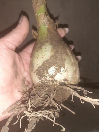 Индийский лук, луковицы на лечение и для посадки