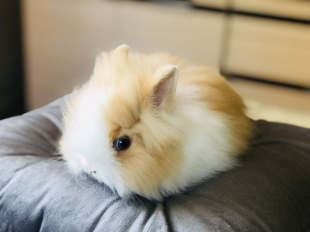 Karzełek teddy, karzełki, królik miniaturka, króliki miniaturki