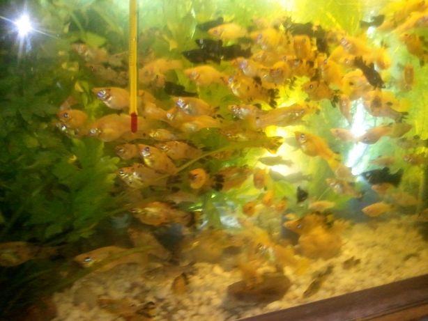 tanie rybki
