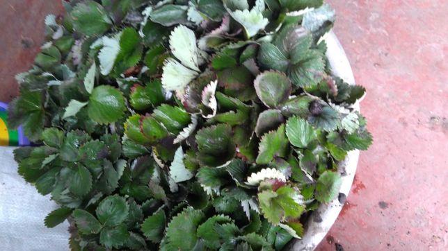 Полуниця саджанці сорти клері ольвія