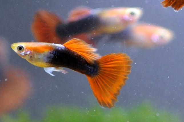 Гуппи мальки живородящая рыбка. Закупочная цена.