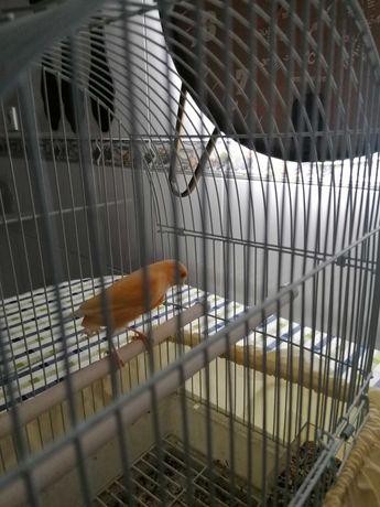 Canário novo macho