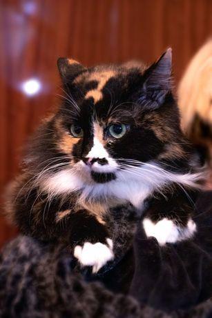 Взрослая кошка в добрые руки, кошки бесплатно, котики, котятя киев
