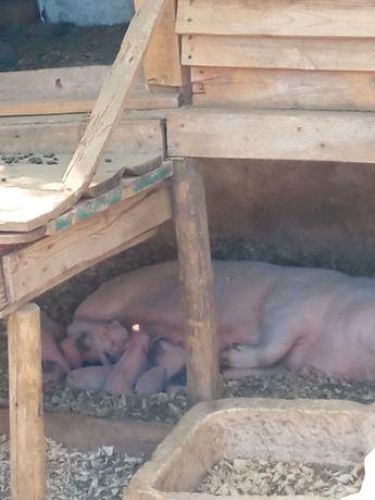 Porco vietnamita branco(rosa) e cinza.