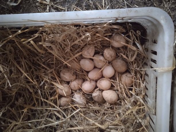 Jaja lęgowe perliczek