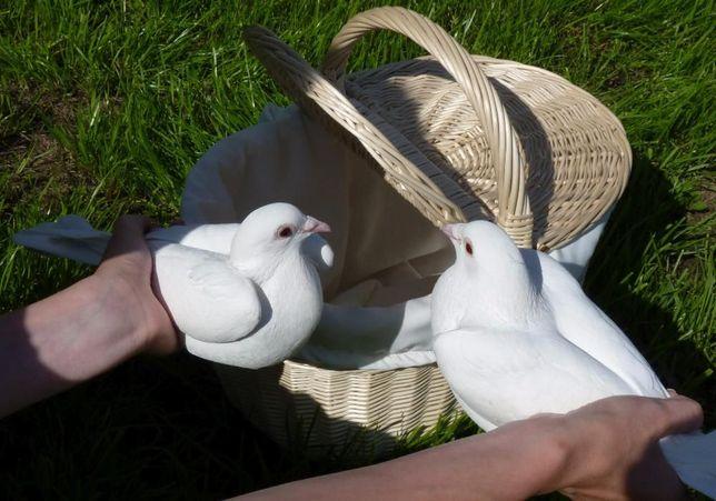Białe gołębie na ślub Toruń Brodnica Wąbrzeźno