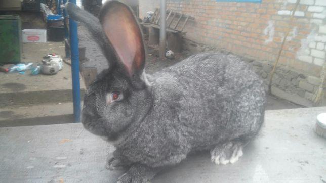 Продам кроликов Бельгийский Великан
