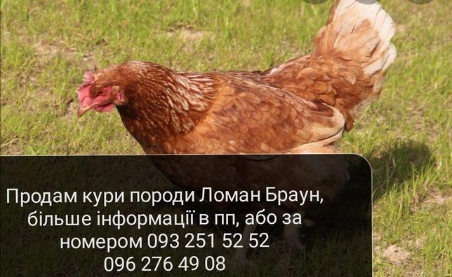 Кури ломан браун