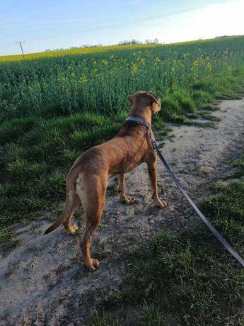 Mazo duży pies do adopcji