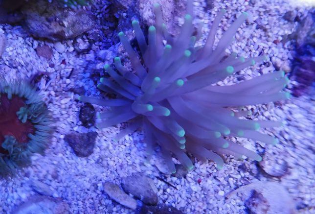 Condylactis gigantea ukwiał akwarium morskie