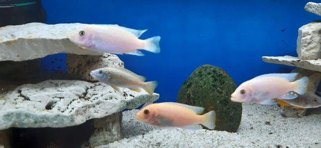 Rybki akwariowe - Pyszczaki Red Red - dorosłe