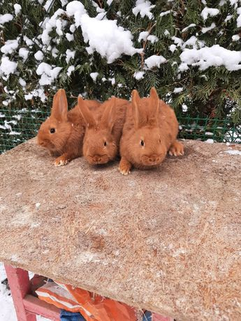 Młodzież króliki Nowozelandzkie