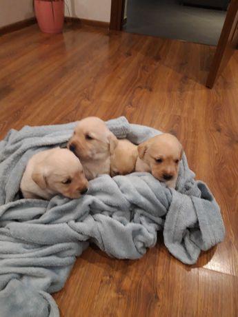 Labrador szczeniaczek