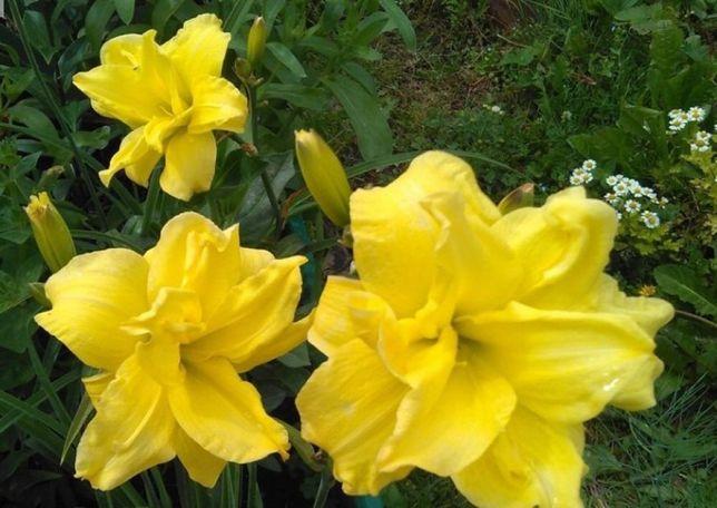 Продам многолетние цветы. Лилейник махровый