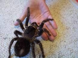 гигантский лошадиный птицеед паук павук lasiodora parahybana тарантул