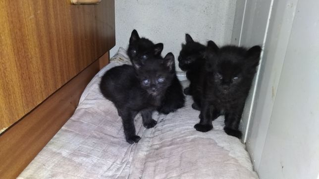 Gatinhos bebés para adoção
