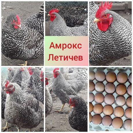 Курчата  породы Амрокс (цыплята )