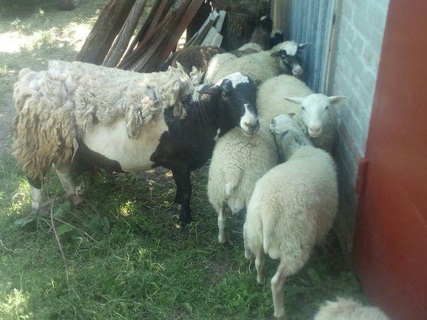 Овцы бараны ягнята дорпер