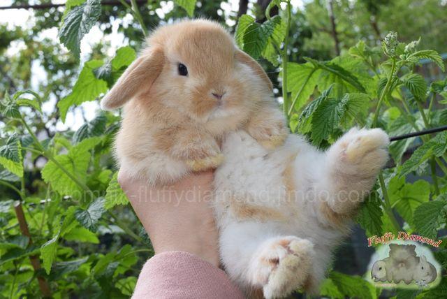 Вислоухий кролик. Ласковый и добрый! Карликовый крольчонок. Есть выбор