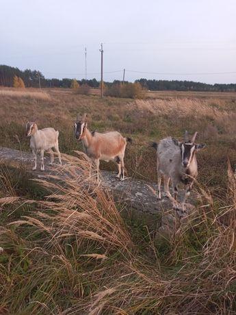 Продам козу і козеня