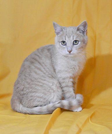 Кошечка Перис, возраст 3, 5 месяца, персикового окраса