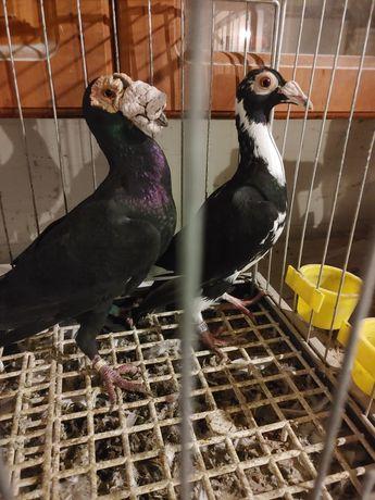 Kariery golebie ptaki
