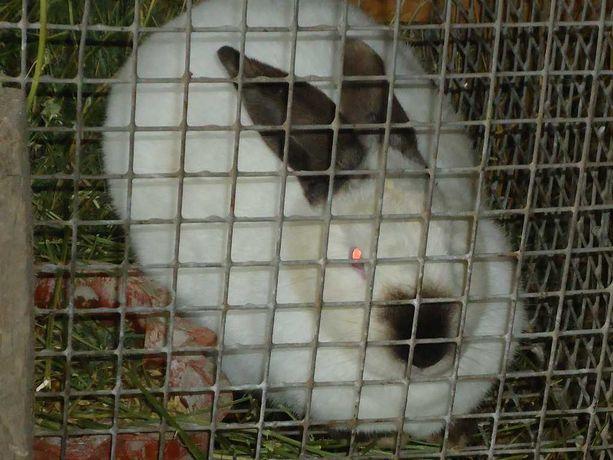 Робочий кріль, кролі парувального віку Каліфорнійці