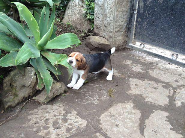 Vende-se Cachorro Beagle com Lop