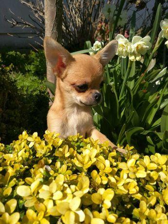 Chihuahua Krótkowłosy Grey  z Hodowli Bajeczne Urwisy