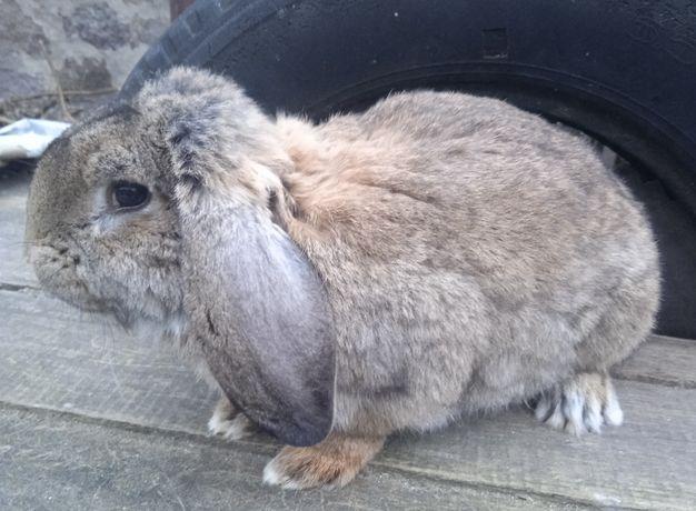 królik baran francuski