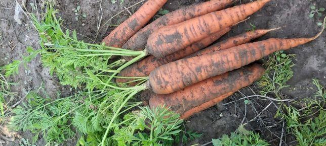 Ekologiczna marchew jadalna z małego gospodarstwa rolnego