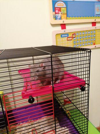 Oddam szczurka samca szarego