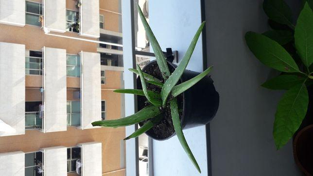 Vaso Aloe vera