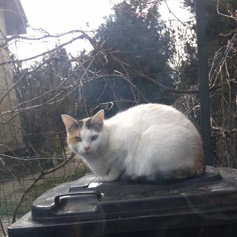 Zaginęła kotka Lusia - Krzeczyn Wielki