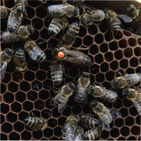 Продам. Многим известная порода. Сarnik Пешец Бджолині матки