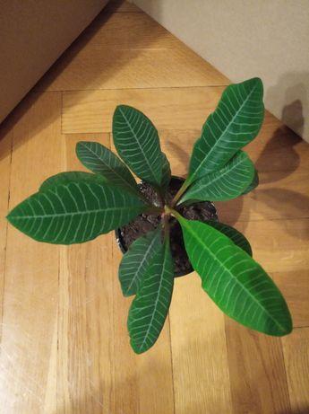 Wilczomlecz białounerwiony (Euphorbia leuconeura) - piękny!