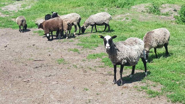 Овцы бараны Романовской породы