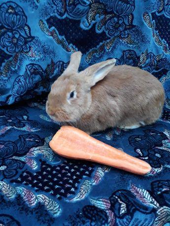 Продам кроликов Бургундцы.