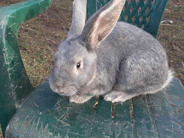 Sprzedam 2 króliki samce rasy wiedeńskiej