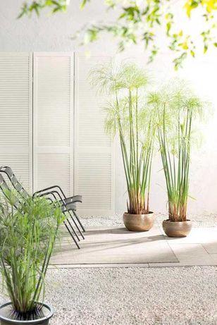 Planta Papiro, ideal para exterior ou em vasos
